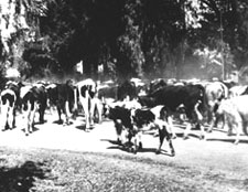 1920s Cattle Drive - Indian School and Scottsdale Roads