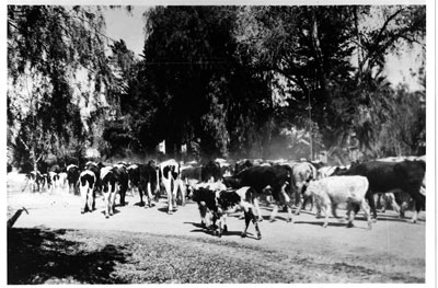 Cattle drive - Indian School and Scottsdale