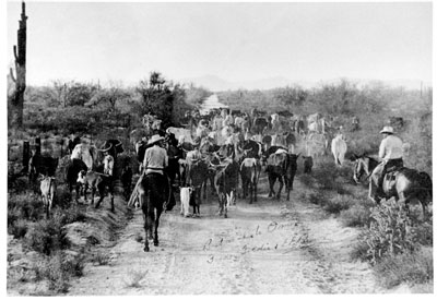 Cattle drive west on Bell Road
